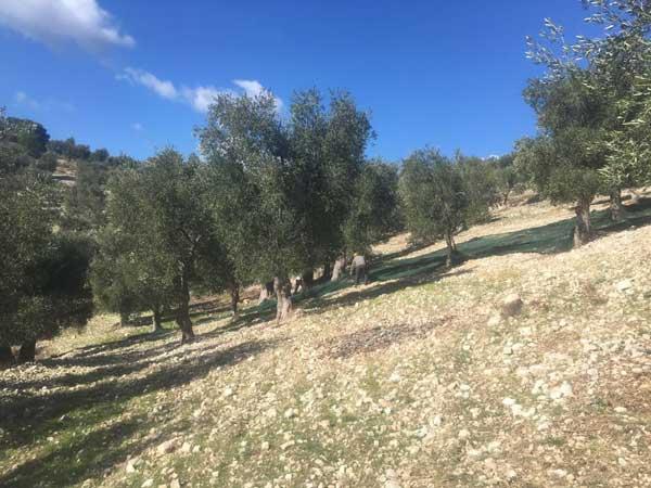 Coltivazione Biolocica Olivo Monocultivar Ogliarola Garganica