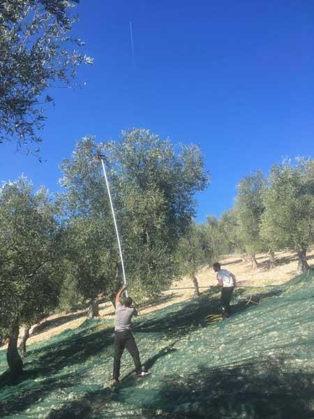 Raccolta delle olive prima di essere portate al frantoio